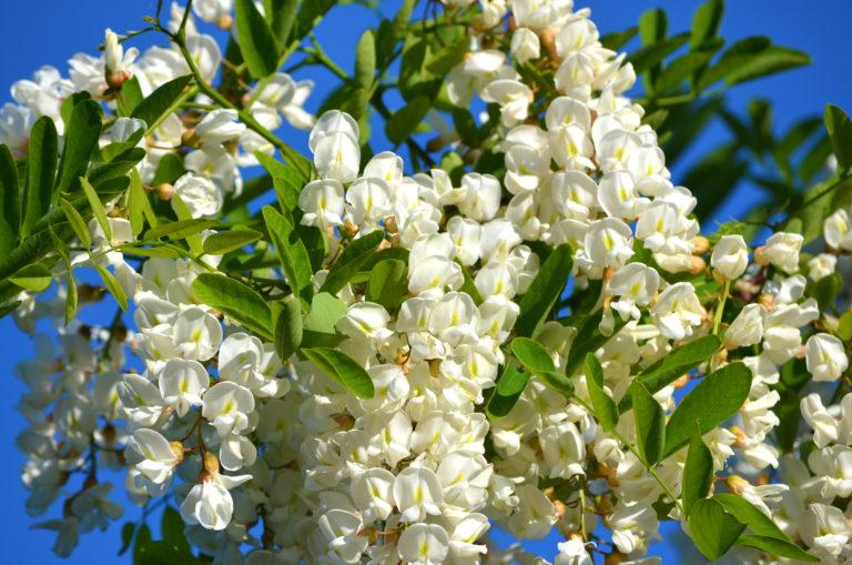 Beneficiile florilor de salcam, recoltarea si prepararea apei de salcam si beneficiile acestuia