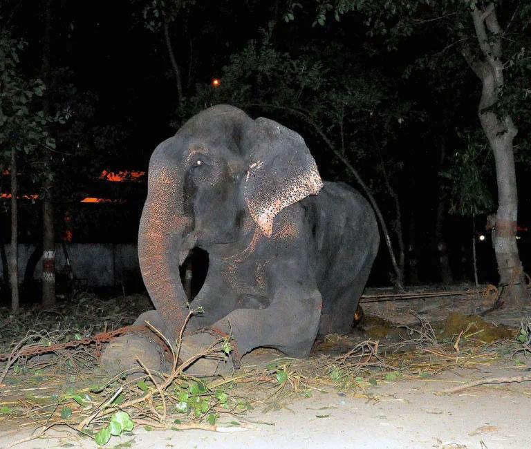 După 50 de ani în lanţuri, un elefant plânge de bucurie atunci când este salvat