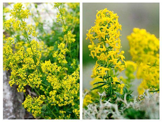 SÂNZIENELE sau DRĂGAICA – plante vindecătoare, binecuvântate de Dumnezeu